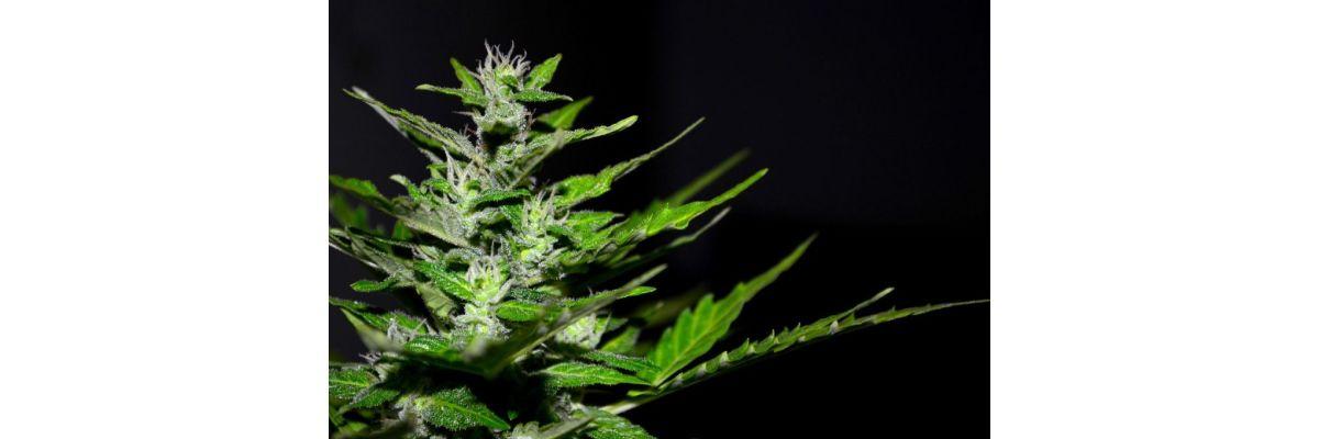 Anfänger Cannabis Anbau Grundwissen – Growguide Teil 1 - Anfänger Cannabis Anbau Grundwissen – Growguide Teil 1
