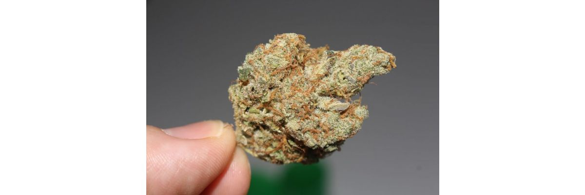 Anfänger Cannabis Anbau Ernten & Trocknen – Growguide Teil 11 - Anfänger Cannabis Anbau Ernten & Trocknen – Growguide Teil 11