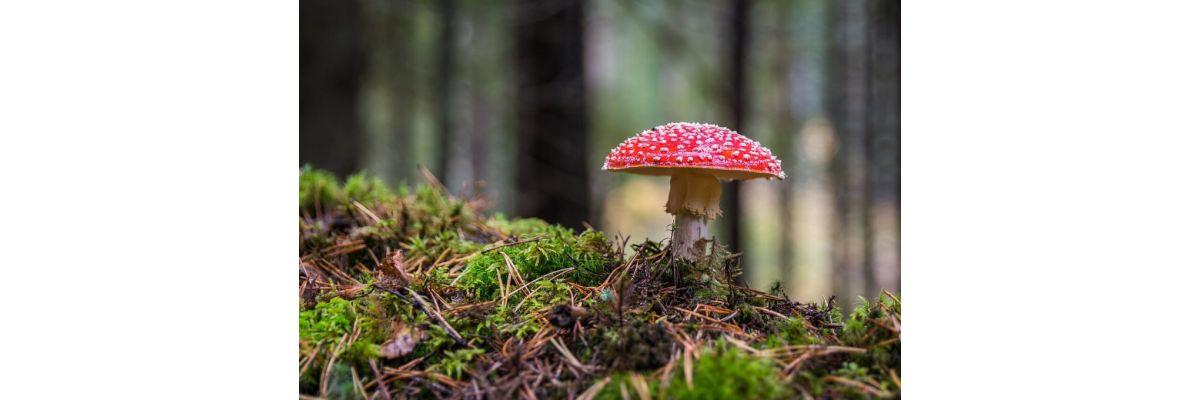 Magic Mushrooms kaufen – Allgemeines zu den Zauberpilzen - Magic Mushrooms kaufen – Allgemeines zu den Zauberpilzen