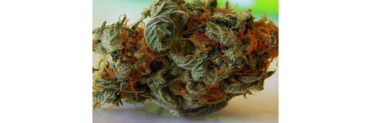 Cannabis Fermentieren Glas – In 8 Wochen zum extrem Krassen Gras - Cannabis Fermentieren Glas – In 8 Wochen zum extrem Krassen Gras