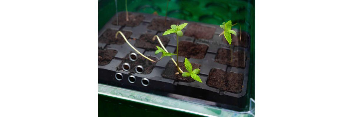Cannabis Autoflowering Outdoor Samen – 5 Fakten im Check - Cannabis Autoflowering Outdoor Samen – 5 Fakten im Check