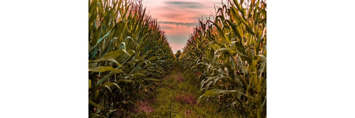 Cannabis Maisfeld Grow Outdoor – Tipps zum Guerilla Anbau - Cannabis Maisfeld Grow Outdoor – Tipps zum Guerilla Anbau
